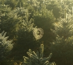 Morgentau und Spinnennetze in der Schonung