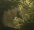 Spinnennetz zwischen Blaufichten