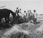 Getreidemahd mit Pferd und Selbstbinder um 1930