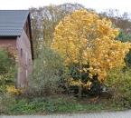 Tulpenbaum im Herbst