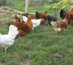 Ein Teil der munteren Hühnerschar