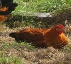 Eine Henne genießt die Nachmittagssonne