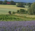 Phacelia in der Landschaft