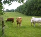 Rinder an der Dränke, im Hintergrund der Hof