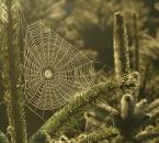 Spinnennetz in einer Blaufichte