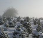 Weihnachtsbaumkultur im Winter
