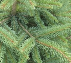 Grünliche Variante einer Blaufichte