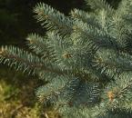 Blaufichtenzweige, bläuliche Variante