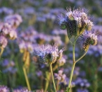 Phacelia-Blüten