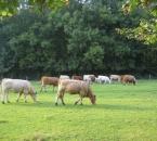 Ein Teil der Rinderherde am Nachmittag
